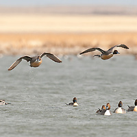 two northern pintail ducks lifing off, flying over other pintails water streaming from feet