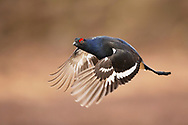 Black Grouse (Tetrao tetrix) in flight