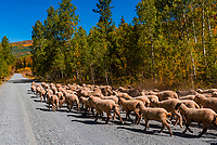 Sheep being herded over Dunckley Pass in the Flat Tops Wilderness, Colorado USA.