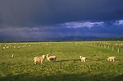 Sheep in a green sunlit field ,south island New Zealand. 1999