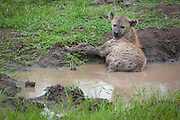 Spotted Hyaena in mudhole<br /> Crocuta crocuta<br /> Hluhulwe Game Reserve<br /> South Africa