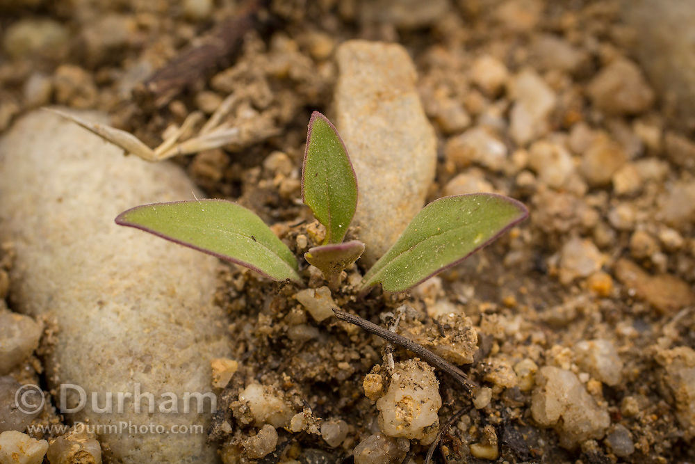 Seedling of a rare lemhi penstemon (Penstemon lemhiensis) at Big Hole National Battlefield, Montana. The plant is considered at risk for extinction by the Montana Natural Heritage Program and It is a category 2 candidate for federal listing as threatened.