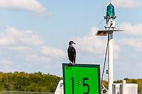 US, Florida. Ten Thousand Islands, Everglades. Double-crested Cormorant.