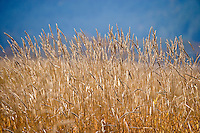 yellow grasses against blue background at Conboy Lake National Wildlife Refuse, Klickitat County, WA USA