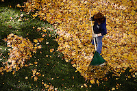 JEROME A. POLLOS/Press ..Sally Lunnen rakes maple leaves Monday from the lawn of the Roosevelt Inn in Coeur d'Alene. The City of Coeur d'Alene will begin its annual leaf pick-up Nov. 12 and asks residents not to bag leaves or to mix branches or other debris.