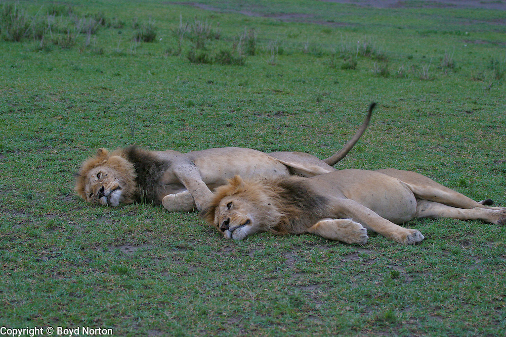Two ault male lions, probably siblings, sleeping; Serengeti National Park