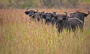 African buffalos in the long grass of the savannah in Queen Elizabeth National Park, Uganda.