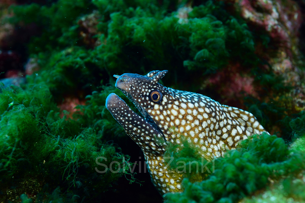 Moray eel (Muraena pavonina) Central equatorial Atlantic Ocean, Saint Peter and Saint Paul Archipelago, Brazil #STP17 [first published through bioGraphic, a program of the California Academy of Sciences] |