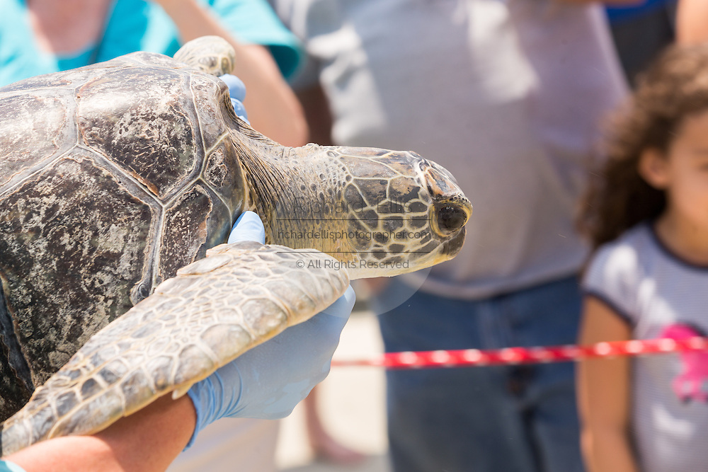 A volunteer carries a Green sea turtle to the ocean during the release of rehabilitated sea turtles May 14, 2015 in Isle of Palms, South Carolina. The turtles were rescued along the coast and rehabilitated by the sea turtle hospital at the South Carolina Aquarium in Charleston.