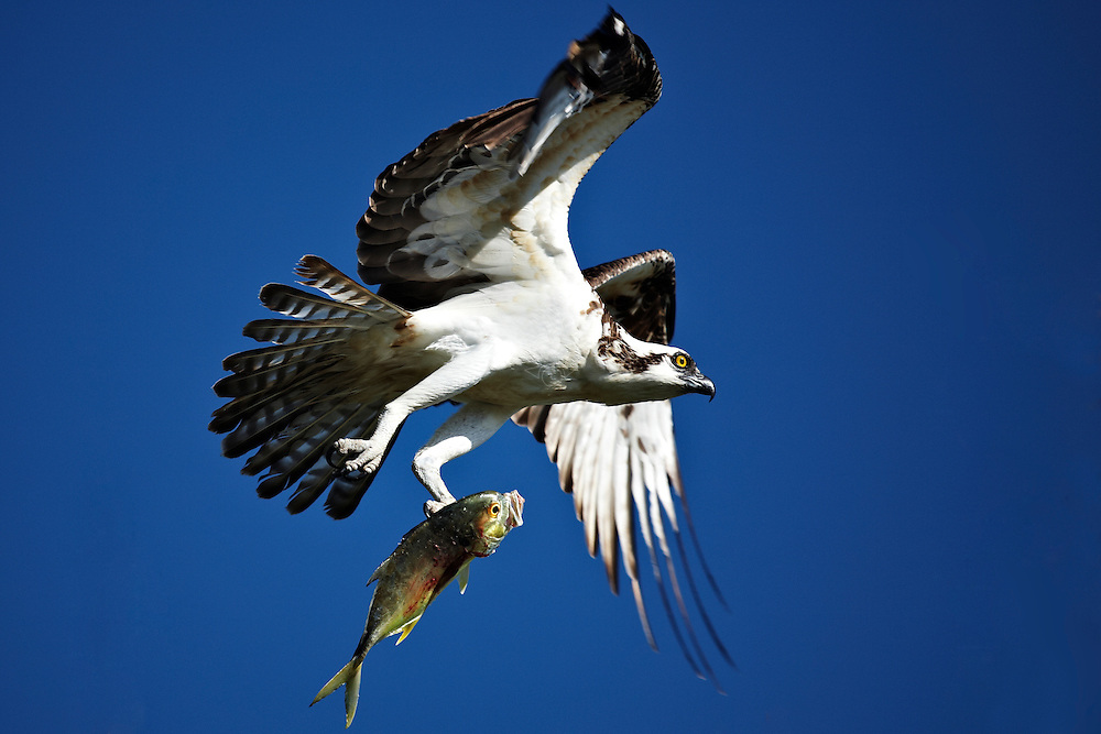 A Florida Osprey clutches a Jack fish in Flamingo National Park.
