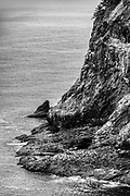 Closer view of the Common Murres colony on the cliffs at Cape Mears, located near Tillamook, Oregon