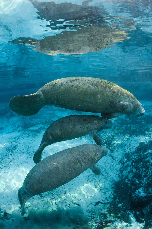 Florida manatee, Trichechus manatus latirostris, a subspecies of the West Indian manatee, endangered. Two male manatee calves take a break from playing while one of their mothers swims in. One of a series of calf intimate play or cavorting play. Horizontal orientation and blue water and reflection. Three Sisters Springs, Crystal River National Wildlife Refuge, Kings Bay, Crystal River, Citrus County, Florida USA.