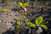 Fern emerging from lava in the Kilauea Iki caldera, Hawaii Volcanoes National Park, Hawaii USA