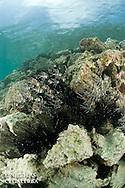 Banc de Poissons cardinaux des iles Banggais devant des oursins diad&egrave;mes<br /> <br /> Poisson cardinal des iles Banggais, Pterapogon kauderni. End&eacute;mique des &Icirc;les Banggais, ce poisson poss&egrave;de une aire de r&eacute;partition tr&egrave;s limit&eacute;e pour un poisson marin. Depuis quelques ann&eacute;es, il subit une forte pression de la p&ecirc;che pour le commerce de l'aquariophilie (plusieurs milliers de poissons sont captur&eacute;s chaque mois) ce qui a conduit cette esp&egrave;ce en 2007 a &ecirc;tre class&eacute;e dans la cat&eacute;gorie Endangered sur la liste rouge de l'UICN. village de Bonebaru sur l'ile Banggai dans les Sulawesis en Indon&eacute;sie - Mission Banggai Cardinal Fish, Mai 2008, Act for Nature - Musee oceanographique de Monaco