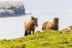 Shetland ponies on Unst, Shetland. The Shetland pony is a breed of pony originating in the Shetland Isles. Shetlands range in size from a minimum height of approximately 28 inches (7.0 hands; 71.12 cm) to an official maximum height of 11 hands (44 inches, 112 cm) at the withers (11.2 hands (46 inches, 117 cm) for American Shetlands). Shetland ponies have heavy coats, short legs and are considered quite intelligent. They are a very strong breed of pony, used for riding, driving, and pack purposes.