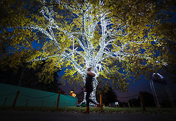 © Licensed to London News Pictures. 21/11/2017. London, UK. A visitor walks past an illuminated tree at the opening of Christmas at Kew at Royal Botanical Gardens, Kew. The spectacular displays are illuminated by over one million tiny twinkling lights placed all over Kew Gardens - open Wednesdays – Sundays from 22 November 2017 – 2 January 2017. London, UK. Photo credit: Peter Macdiarmid/LNP