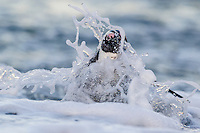 African Penguins emerging from the water, Bettys Bay Marine Protected Area, Western Cape, South Africa