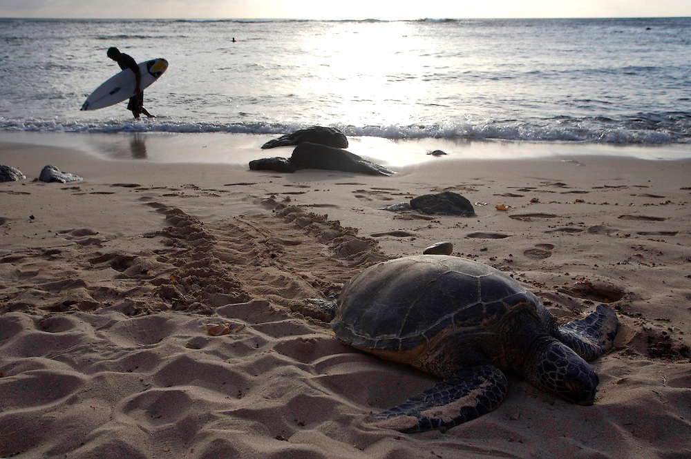 Hawaii. A surfer leaves the sea while a giant turtle rests on the beach in Maui.