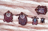 Comparing Wood and Deer Ticks:<br />