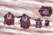 Comparing Wood and Deer Ticks:<br /> L-R: Two female Wood (or Dog) Ticks (Dermacentor variabilis), Female and Male Deer (or Black-legged) Ticks (Ixodes scapularis)<br /> Top: Male Wood Tick