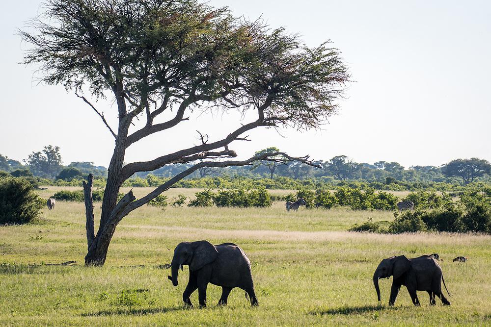 Two elephants march across the landscape of Hwange National Park. Hwange, Zimbabwe.