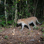The Indochinese leopard (Panthera pardus delacouri) is a leopard subspecies native to mainland Southeast Asia and southern China. In Indochina, leopards are rare outside protected areas and threatened by habitat loss due to deforestation as well as poaching for the illegal wildlife trade. The population trend is suspected to be decreasing