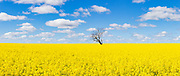 Tree without leaves in middle of a field of canola against blue sky near Boree Creek, New South Wales, Australia