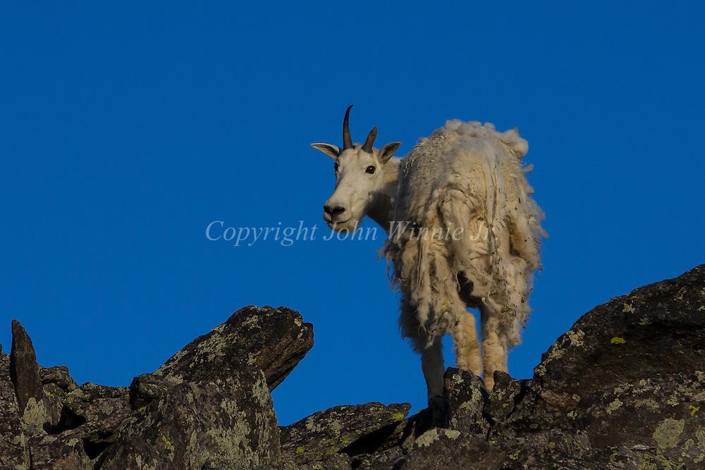 Mountain goat, Beartooth Plateau, Wyoming, Montana