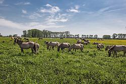 Konikpaarden in het waterwingebied De Rug<br /> Susteren 2011<br /> © Dirk Caremans