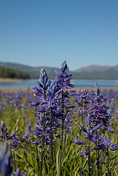 """Camas Lilies at Stampede Reservoir"" - These camas lilies were photographed at Stampede Reservoir, near Sagehen Meadows."
