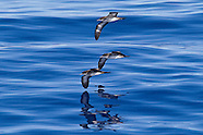 Wedge-tailed Shearwater photos