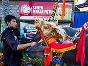 30 JULY 2017 - TUWED, JEMBRANA, BALI, INDONESIA: A Balinese man with his team of water buffalo before a makepung (buffalo race) in Tuwed, Jembrana in southwest Bali. Makepung is buffalo racing in the district of Jembrana, on the west end of Bali. The Makepung season starts in July and ends in November. A man sitting in a small cart drives a pair of buffalo bulls around a track cut through rice fields in the district. It's a popular local past time that draws spectators from across western Bali.    PHOTO BY JACK KURTZ