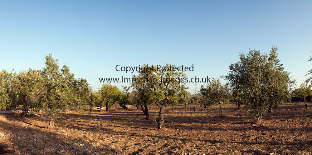 evening light in olive grove