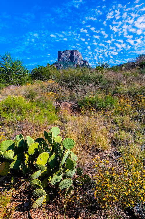 Prickly Pear Cactus, Chisos Mountains, Big Bend National Park, Texas USA.
