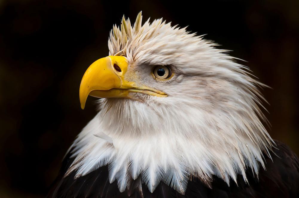 Bald eagle (Haliaeetus leucocephalus), Deer Mountain Tribal Hatchery and Eagle Center, Ketchikan, Alaska USA