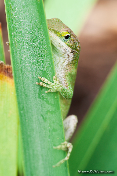 Carolina anole on a dew covered iris leaf. Anoles are so territorial they have been known to fight their own reflections in mirrored glass.