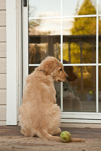 A three-month-old golden retriever puppy waits at the door to be let & Puppy waiting at the door | Martin Beebee Photography