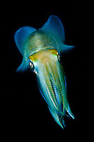 Reef squid, like most cephalopods are capable rapidly changing colors and markings on their skin.  They use these displays to attract mates, warn off rivals and to camouflage themselves. Lembeh Strait in N Sulawesi is famous for its unusually high marine biodiversity, particularly of unusual animals that live on the exposed sand areas.