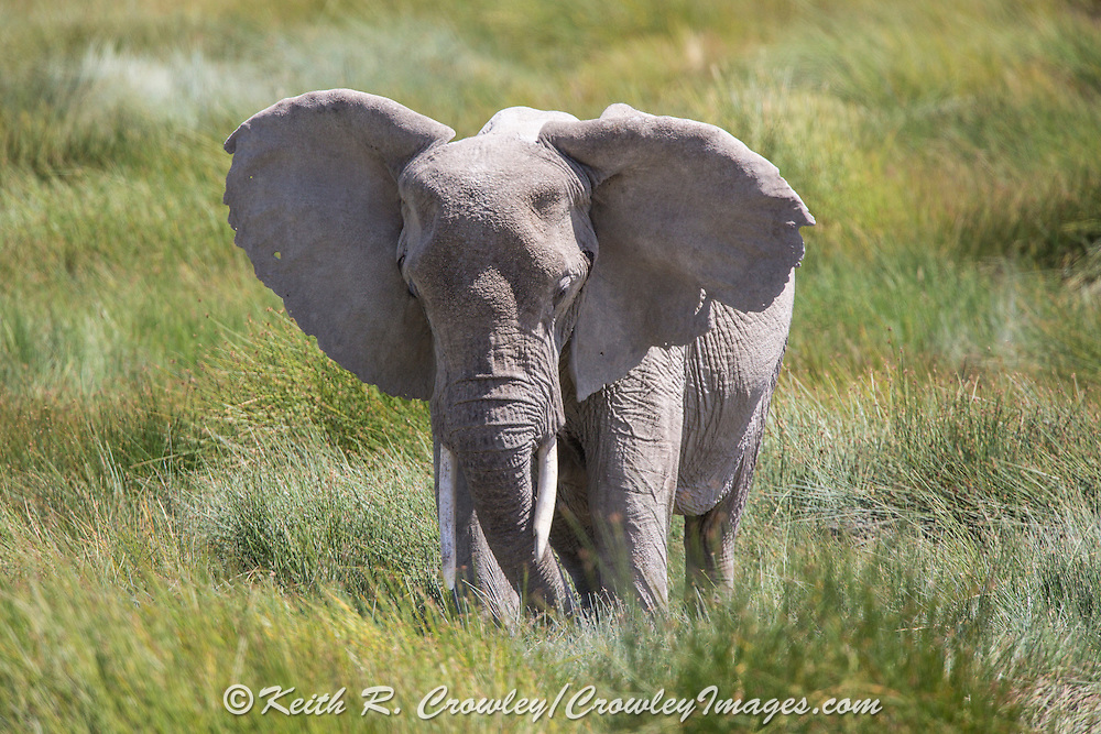 Elephant in East African savannah habitat
