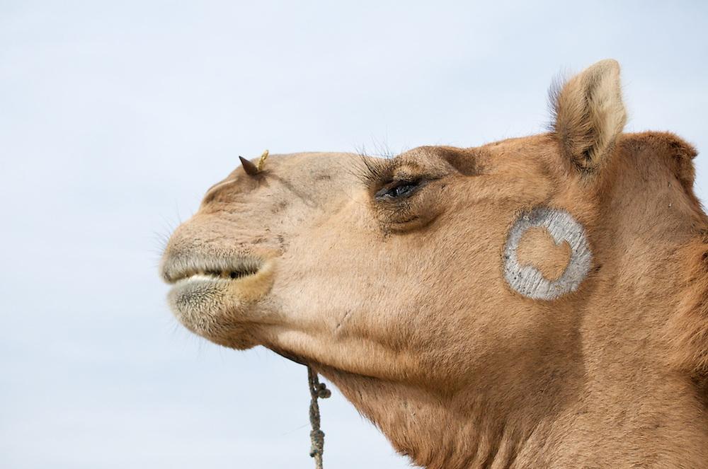 Camel Trek, Thar Desert outside of Jaisalmer, India