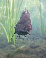 Brown Bullhead<br />