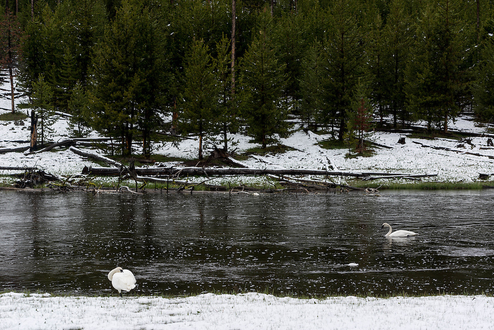Trumpeter Swans feed and preen along the Firehole River in Yellowstone
