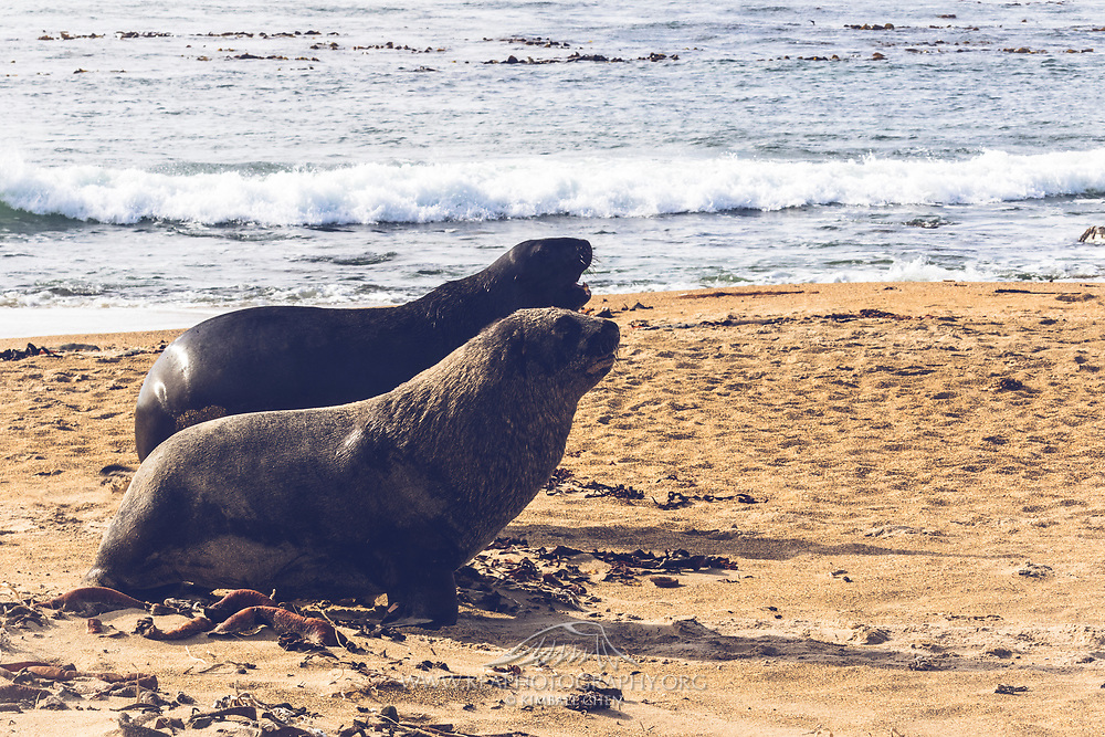 Pair of ambling Hooker's Sea Lions, Waipapa Point, Catlins, New Zealand