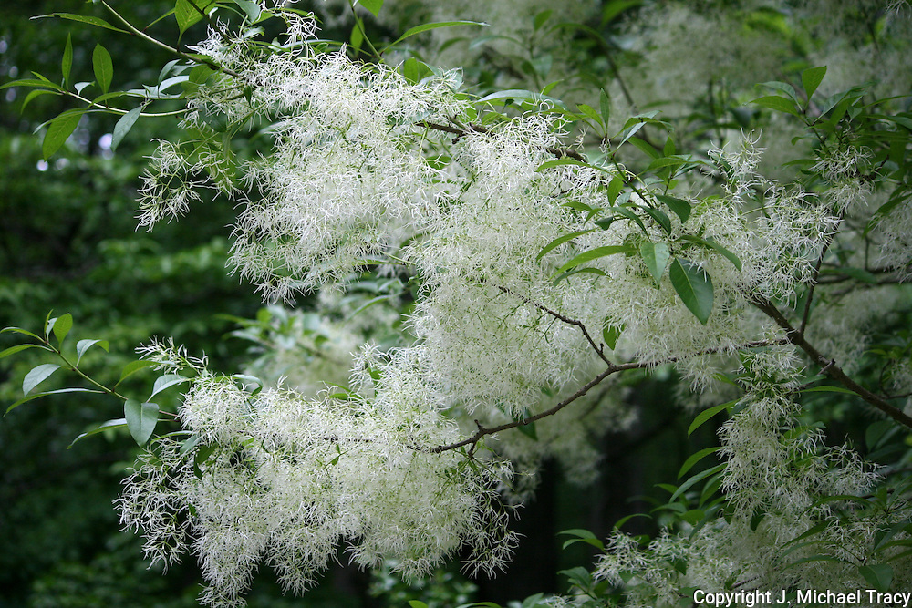 A beautiful white flower tree, Chionanthus or Fringe Tree grows in a garden area of Stone Mountain Park.