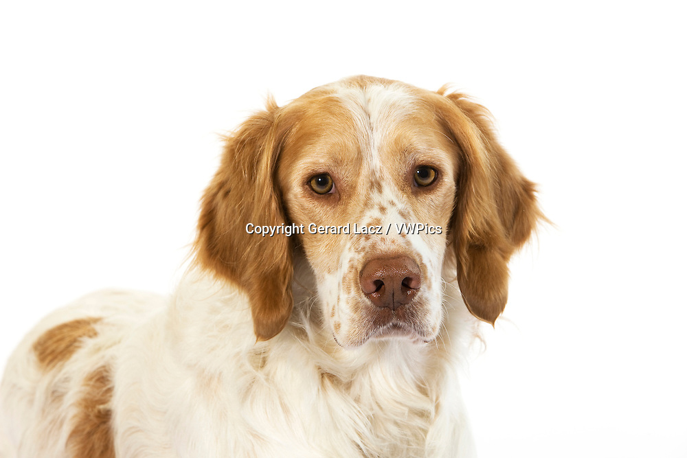 French Spaniel (Cinnamon Color), Portrait of Male against White Background