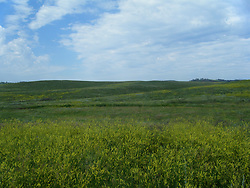 Goldenrod blooms on the prairie of South Dakota bringing a vivid yellow color to the otherwise rolling green hills