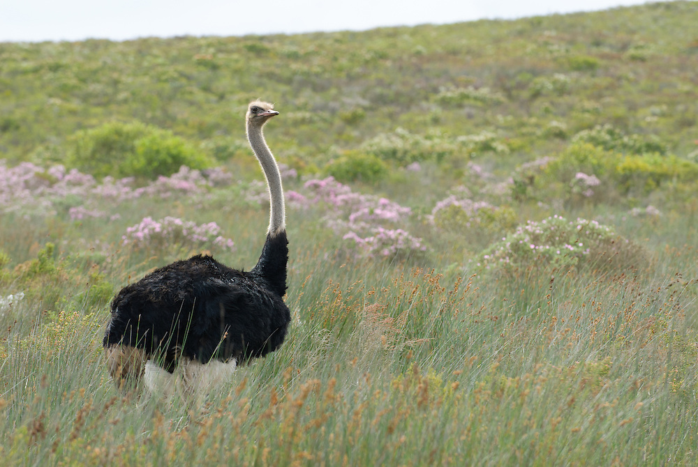 Ostrich (Struthio camelus)<br /> De Hoop Nature Reserve<br /> South Africa