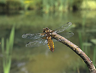Broad-bodied Chaser female - Libellula depressa