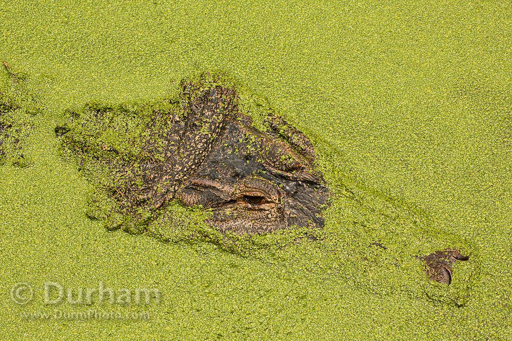 An American alligator (Alligator mississippiensis) hidden in pond weed, Florida.
