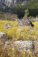 Wildflower blooms adorn the hillsides surrounding the Hetch Hetchy Reservoir, Yosemite National Park